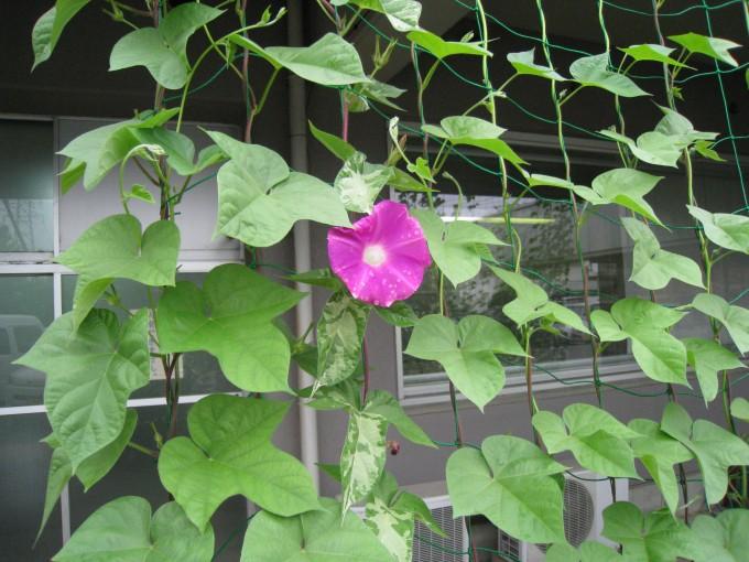 グリーンカーテンに朝顔の花